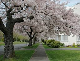 yoshino cherry trees for sale fast growing trees