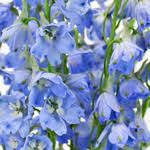 light blue flowers light blue delphinium flower