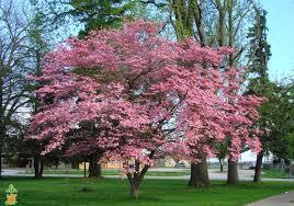 pink flowering dogwood tree on sale pink dogwood trees for sale