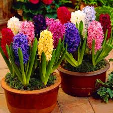hyacinth flower hyacinth flower bulbs pack of 3 mix color seedsnpots
