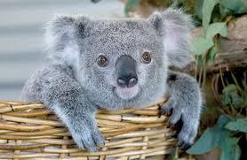 imagenes animales australia australian fauna emblems australian geographic