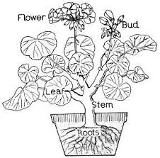 Parts Of A Flower Coloring Page Parts Vitlt Com Photosynthesis Coloring Page