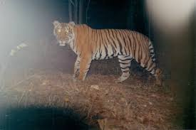 rare video captures tiger making its kill u2013 national geographic