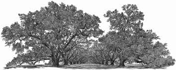 White Oak Tree Drawing Yan Lee U0027s Big Tree Studio Fine Art Pen U0026 Ink Portraits Of Famous