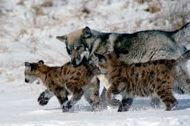 wolf pup mountain cubs together an unlikely flickr