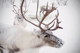 extra large wall art winter reindeer snow photo caribou in