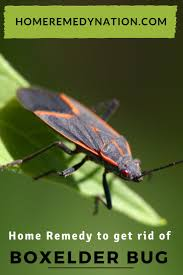 660 best box elder bug images on pinterest bugs insects and