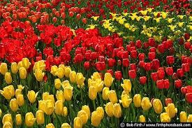 Mn Landscape Arboretum by Tulips Mn Landscape Arboretum 6533