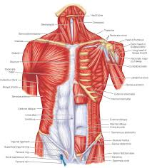 Anatomy And Physiology The Muscular System One Of The Most Comprehensive Flow Charts Of Muscles And Their