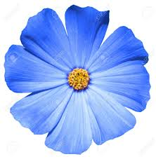 blue flower blue flower primula isolated on white stock photo picture and