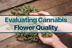 kaya collective 6 easy ways to evaluate cannabis flower quality