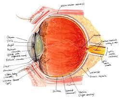 Picture Of Eye Anatomy Diagram Of Eye Anatomy Humandiagram Info