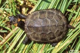 deep bog turtle fact sheet