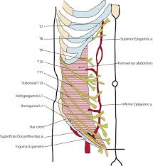 Human Anatomy Of The Abdomen Duke Anatomy Lab 5 Anterior Abdominal Body Wall U0026 Abdominal Viscera