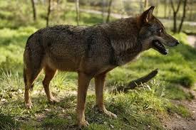 imagenes sorprendentes de lobos ocho cosas sorprendentes que quizás no sepas sobre tu perro