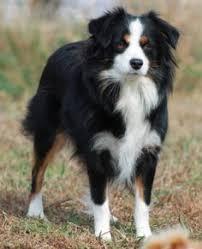 e locus australian shepherd this handsome fellow is oaffiet a yellow australian shepherds he