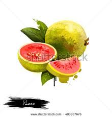 guava fruit isolated on white background stock illustration