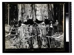 calisphere among the california redwoods tree 15 in
