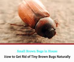 tiny brown bugs in my kitchen cabinets small brown bugs in house how to get rid of tiny brown bugs