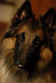 belgian sheepdog laekenois pinterest u2022 the world u0027s catalog of ideas