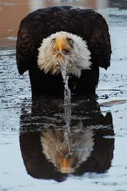America Eagle Meme - 84 best american eagle images on pinterest american pride bald