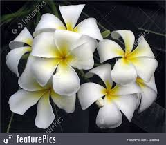 plumeria flowers flowers frangipani plumeria flowers stock picture i3068603 at