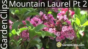 kalmia latifolia mountain laurel kalmia latifolia with jaynes part 2 of 3