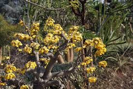 native plants of madagascar the madagascar spiny forest of arcadia california