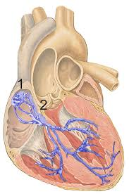 Anatomy Of The Heart And Its Functions Sinoatrial Node Wikipedia