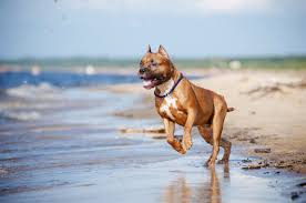 american pitbull terrier traits amazing information about the shar pei pit bull mix breed