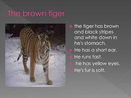 the tiger has brown and black stripes and white in he s