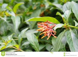 native plants of florida closeup of firebush shrub in florida stock photo image 55685649