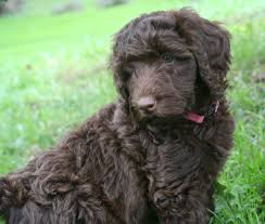 goldendoodle puppy virginia goldendoodle and labradoodle puppies from yesteryear acres