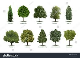 tree types sortsspecimensvector tree illustrations arborvitae