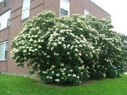 Flower Shrubs For Shaded Areas - 106 best evening shade plants for shady areas images on pinterest