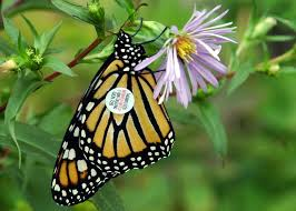 Monarch Migration Map Three Ways To Help Monarchs This Fall News News U0026 Events The