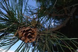 Cone Tree Free Photo Pinecone Pine Cone Tree Free Image On Pixabay