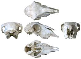 here u0027s that sheep skull multiview you ordered sauropod vertebra