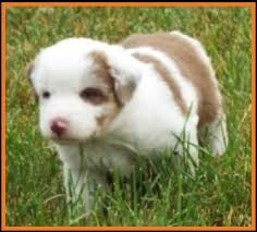 australian shepherd 4 weeks old mini aussie pup for sale 2014 litter 4 paris pup 4 red merle