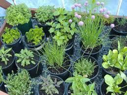 good condition buy herb plants 981 hostelgarden net