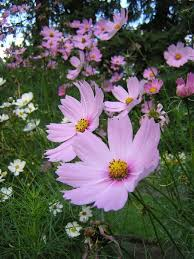 25 best cosmos flower pictures ideas on pinterest cosmos