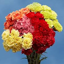 wholesale carnations globalrose 200 color carnations fresh flowers