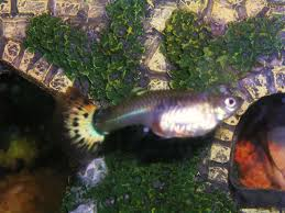 get pregnant how to tell when your pregnant guppy fish is close