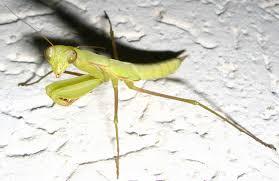 mantis crane parts information about praying mantis in missouri