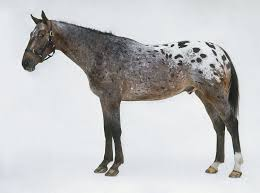 appaloosa horse breed profile