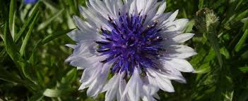 bachelor buttons cornflower bachelor s button centaurea cyanus