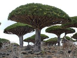 dragons blood tree top 10 trees toptenz net
