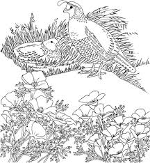 california valley quails and poppy flower coloring page free