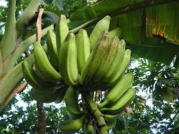 Tiny Banana Banana Freckle Wikipedia