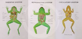 frog respiratory system labeled